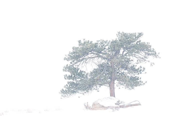Rocky Mountain National Park,Colorado,Ponderosa,Tree,storm,snow,moraine park, photo