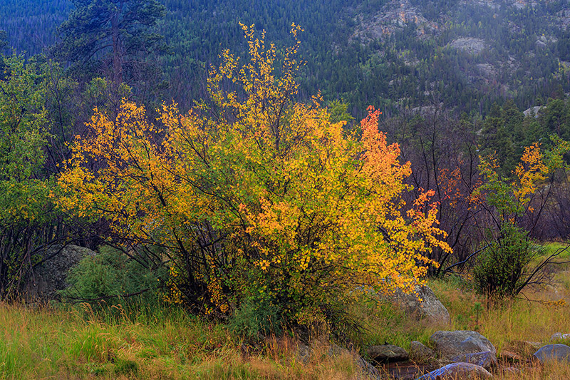 Moraine Park,Mountain Maple,Fall,Autumn,Elk,Bugling,Grasses,Estes Park,Rocky,RMNP,Rut,Fog,Rain, photo