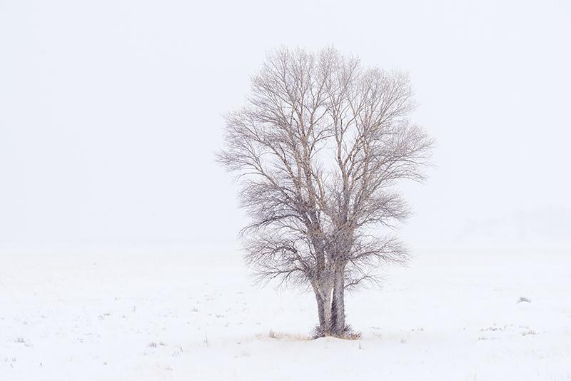 Moraine Park,RMNP,Estes Park,Cottonwood,Tree,Snow,March,Winter,Snow,Colorado,Photography,Landscape,Rocky Mountain National Park,Colorado, photo