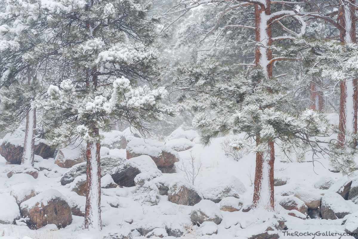 February,Moraine Park,Snow,Winter,Storm,Estes Park,Bear Lake Road,RMNP,Landscape,Photography,Colorado,Ponderosa Pines,Rocky Mountain National Park, photo