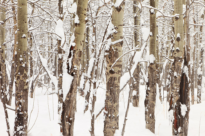 Rocky Mountain National Park, Colorado, Moraine Park, Aspens, Trees, Winter, Snow, photo