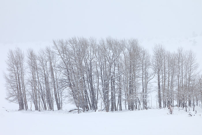 A grove of Cottonwood trees endures a spring snowstorm in Rocky Mountain National Park's Moraine Park. Snow is falling at a pretty...