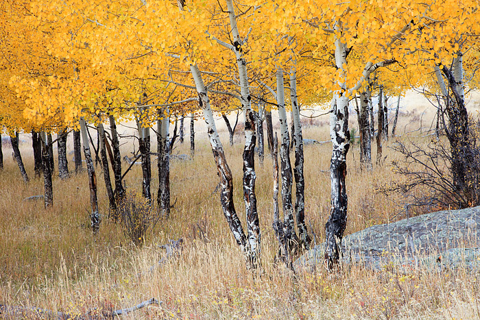 Rocky Mountain National Park, Colorado, Moraine Park, Aspens, Autumn, Elk, photo