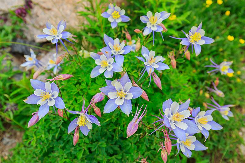 Columbines, Wildflowers,Mount Lady Washington,Longs Peak,Estes Park,Tahosa Valley,RMNP,Rocky Mountain National Park,Blue,Colorado,mt lady washington , photo