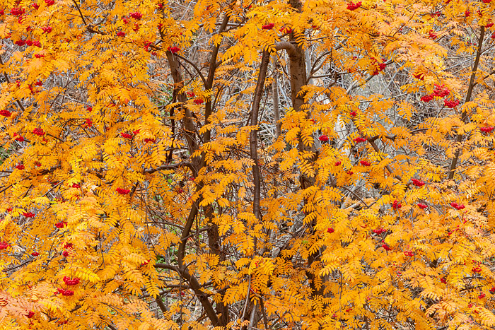 Boulder, Colorado, Gregory Canyon, Mountain Ash, Fall, Autumn, Open Space, OSMP, photo