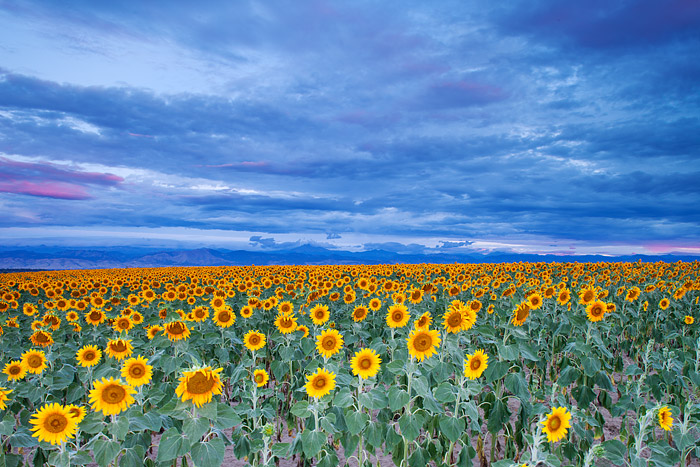 Colorado, Sunflowers, Longmont, Front Range, photo
