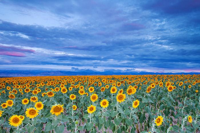 Colorado, Sunflowers, Longmont, Front Range, photo