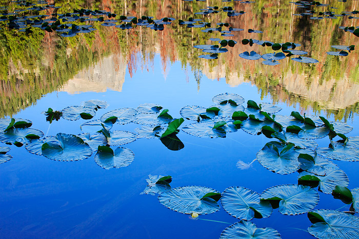 Lilly pads dot the surface of Nymph Lake in Rocky Mountain National Park. Each summer, Nymph Lake is covered with lilly pads....