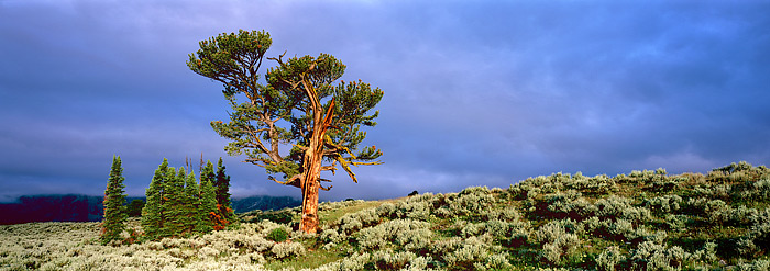 Grand Teton National Park, Old Patriarch, Wyoming, National Park, Tree, photo