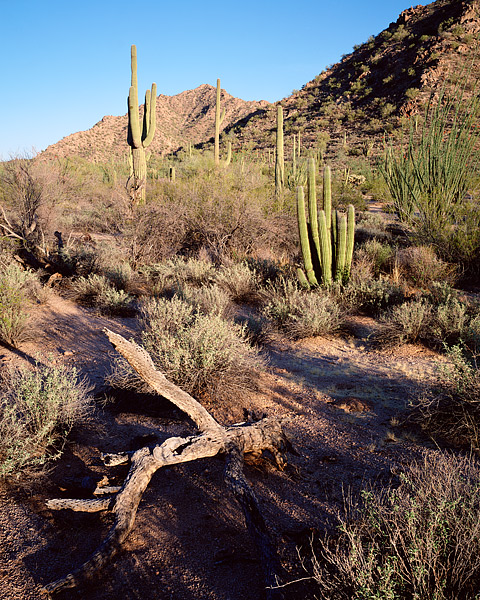Organ Pipe National Monument, Sonoran Desert, Arizona, Cactus, Saguaro, Ajo Mountains, photo