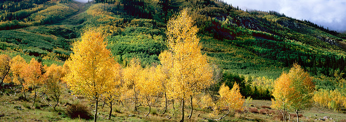 Fall Aspens shimmer in the backlighting as a weather moves out and allows the Sun to peak through. These stunted Aspen trees...