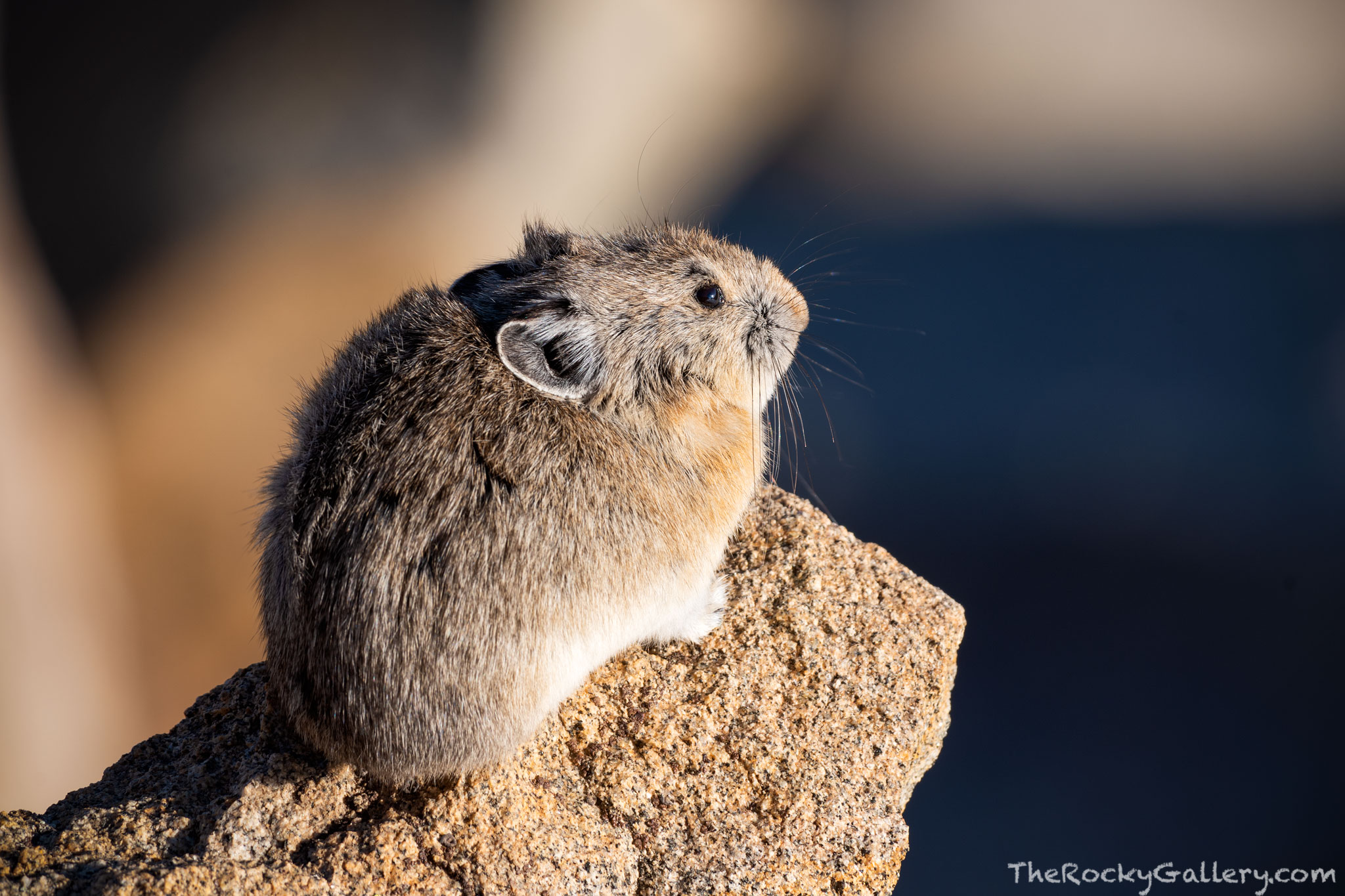 A Pika observes his surrounding high above treeline near Trail Ridge Road on a spring morning. Pika's can be found scurrying...