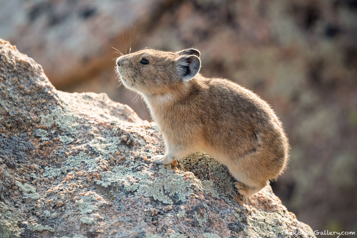 Pika,Tombstone Ridge,Alpine,Tundra,Wildlife,Photography,Estes Park,Colorado,RMNP,Rocky Mountain National Park, photo