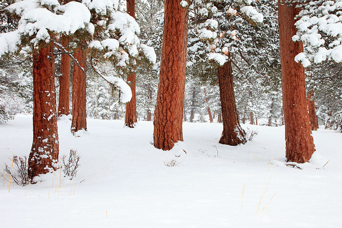 Rocky Mountain National Park, Colorado, Horseshoe Park, Ponderosa Pines, Snow, Winter, photo