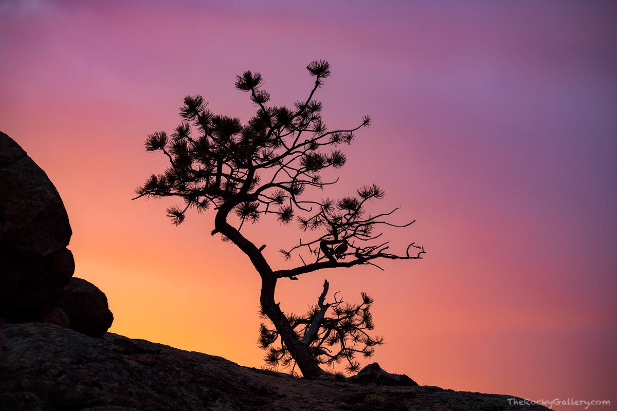 Moraine Park,Ponderosa Pine,Tree,Sunrise,Estes Park,Rocky Mountain National Park,Colorado,RMNP,Landscape,Photography, photo