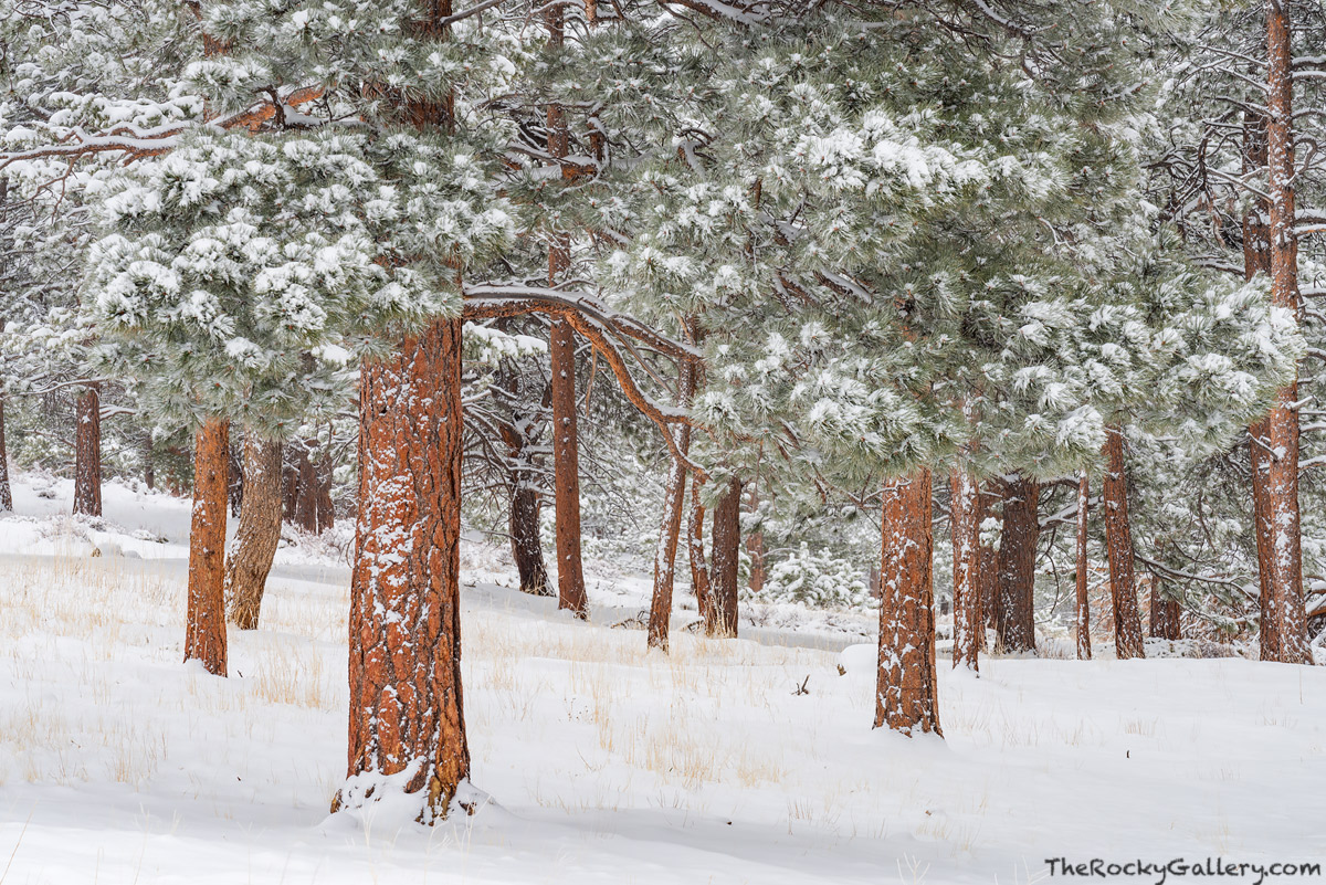 Snow,Spring,April,Ponderosa Pines,Deer Mountain,Trail Ridge Road,Estes Park,RMNP,Colorado,Rocky Mountain National Park,Landscape,Photography,Trees, photo