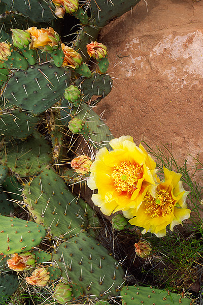 Moab, Sandstone, Utah, Colorado River, Prickly Pear, Cactus, Desert, photo
