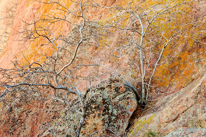Tree's grow against the backdrop of Boulder's Red Rock's  formation. Lichen growing on the Red Rock's add's color to this location...