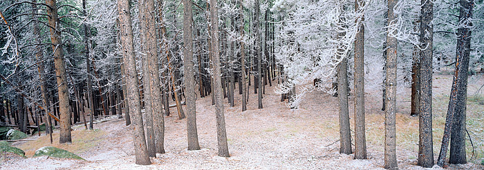 White Pines, Lodgepole, Rocky Mountain National Park, Colorado, Glacier Creek, trees, photo