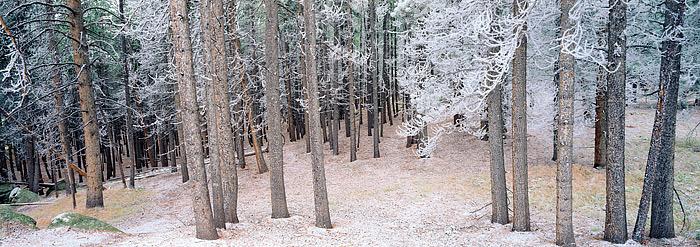 White Pines, Lodgepole, Rocky Mountain National Park, Colorado, Glacier Creek, trees, photo