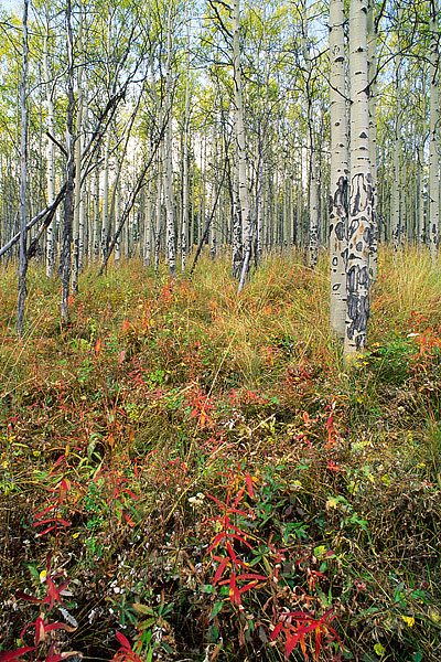 Routt National Forest, Toponas, Aspens, Fall, Colorado, photo