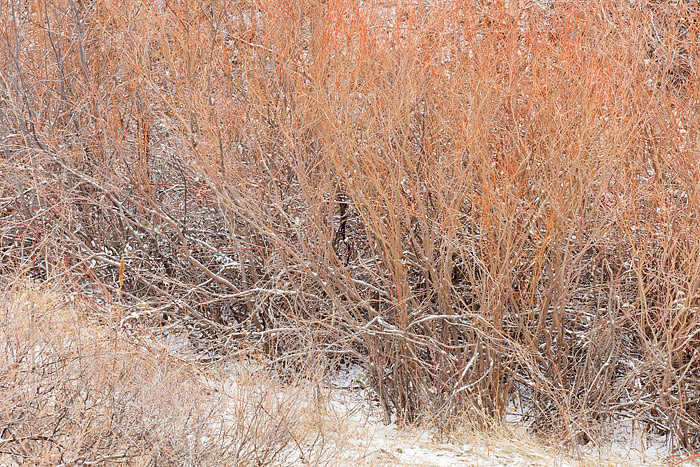 A light snow falls on the Willows at the base of Mount Sanitas in Boulder, Colorado. The red of the Willows along Mount Sanitas...