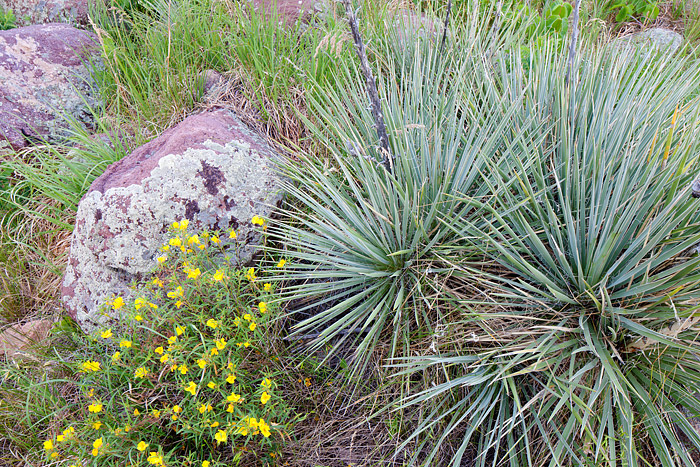 Boulder, Colorado, Open Space, OSMP, Prarie, Yucca, wildflowers, photo