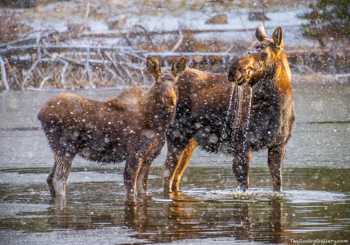 Moose,Mother,Calf,Sprague Lake,April,snowstorm,cold,Bear Lake Road,Estes Park,Colorado,Rocky Mountain National Park,RMNP,Wildlife,Photography, photo