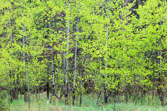 Boulder, Colorado, Spring, Open Space, OSMP, Apsen, Tree's, Gregory Canyon, photo