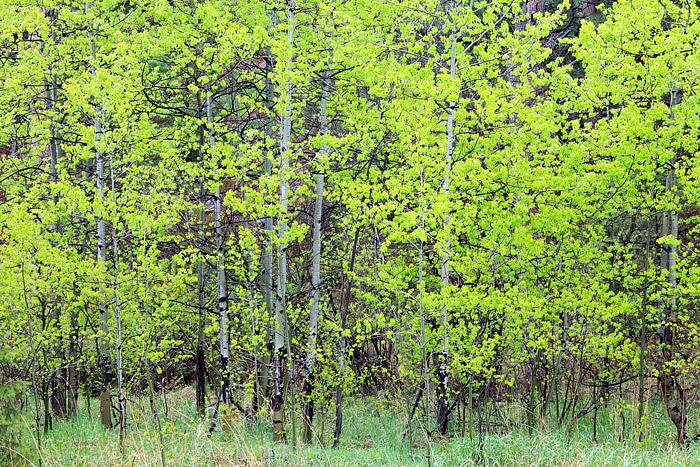 Boulder, Colorado, Spring, Open Space, OSMP, Apsen, Tree's, Gregory Canyon, photo