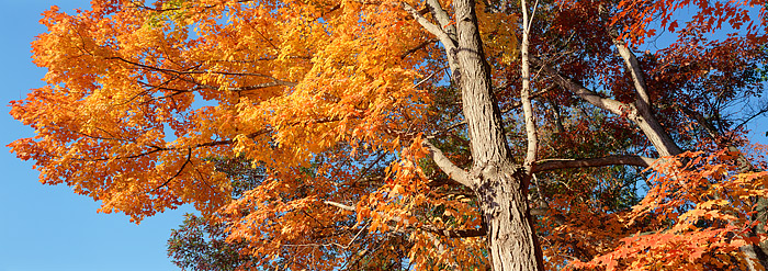 Harriman State Park, New York, Fall, Sugar Maples, photo