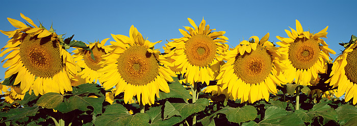 Sunflowers, Colorado, Boulder, High Plains, Landscape, photo