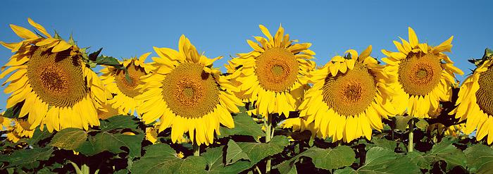 Sunflowers, Colorado, Boulder, High Plains, Landscape, photo