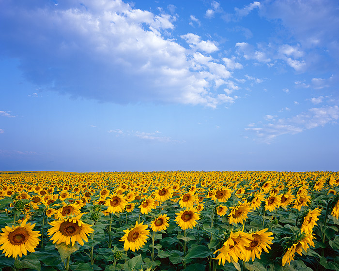 Sunflowers, Boulder, Front Range, Colorado, Open Space, photo