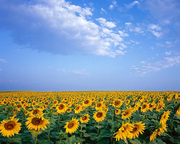 Sunflowers, Boulder, Front Range, Colorado, Open Space, photo