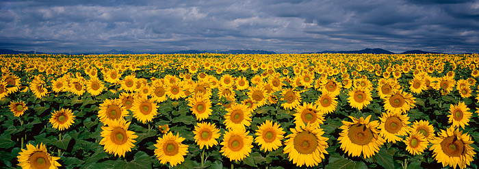 Sunflowers, Front Range, Boulder, large format, Panoramic, photo