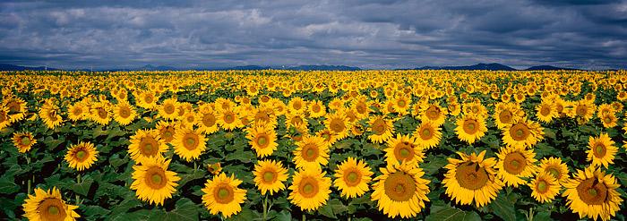 Sunflowers, Front Range, Boulder, large format, Panoramic, photo