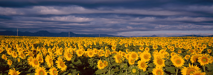 Sunflowers, Flatirons, Front Range, Boulder, Panoramic, photo