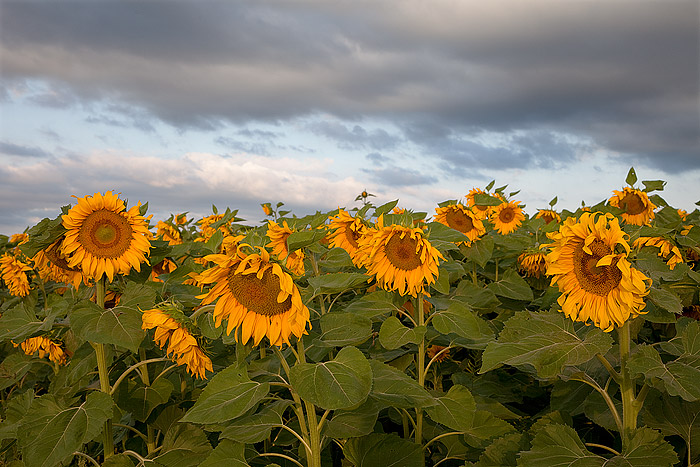 A large field of Colorado Sunflowers greets the rising sun after a stormy night in Eastern Colorado. Clouds glide over alternating...