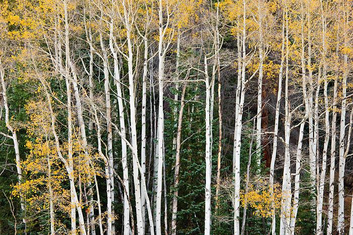 Rocky Mountain National Park, Colorado, Aspen, Fall Color, Kawuneeche Valley, Timber Creek, photo