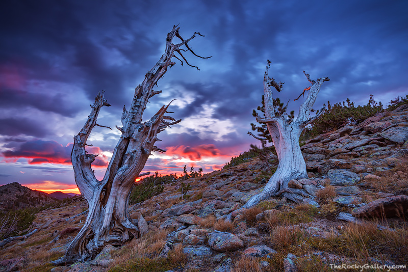 Limber Pines, Krummholz,Tombstone Ridge, Trail Ridge, Colorado, Sunrise,Sub Alpine,Trees,winds,pink,Estes Park,Grand Lake,Rocky Mountain National Park,RMNP,Trail Ridge Road,Sunrise,Landscape,Photograp, photo