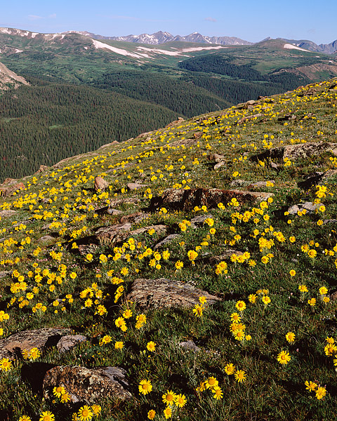 Alpine Sunflowers, Trail Ridge Road, Estes Park, Rocky Mountain National Park, Never Summer Mountain, photo