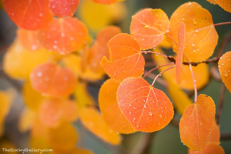 Denver Broncos,Orange,Aspen,Leaves,Fall,Rocky Mountain National Park,Colorado,RMNP,Trail Ridge Road,Estes Park,Grand Lake,rain,autumn. , photo