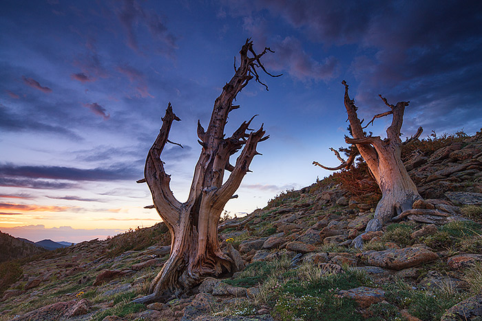 Trail Ridge,Krummholz,trees,Rocky,Rocky Mountain National Park,Colorado,windswept,sunrise, photo