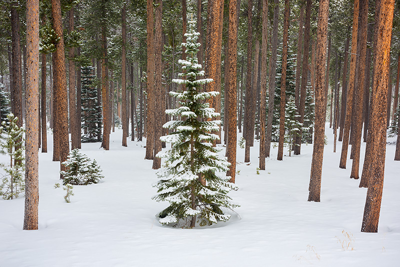Twin sisters,Evergreens,Pines,Rocky Mountain National Park,Longs Peak area,Estes Park,Tahosa Valley,Highway 7,snow,winter,Colorado,Lodgepole Pines,forest,trees,RMNP, photo