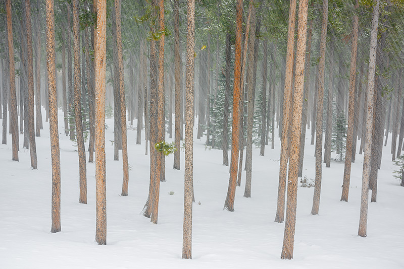 Twin Sisters,Lodgepole,White,Pines,Snow,Winter,February,Trees,Landscape,Photography,RMNP,Estes Park,Rocky Mountain National Park,Colorado,February, photo