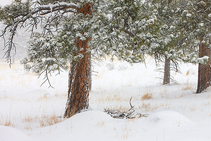 Walker Ranch,Snow,Ponderosa,Open Space,Boulder,Colorado, photo