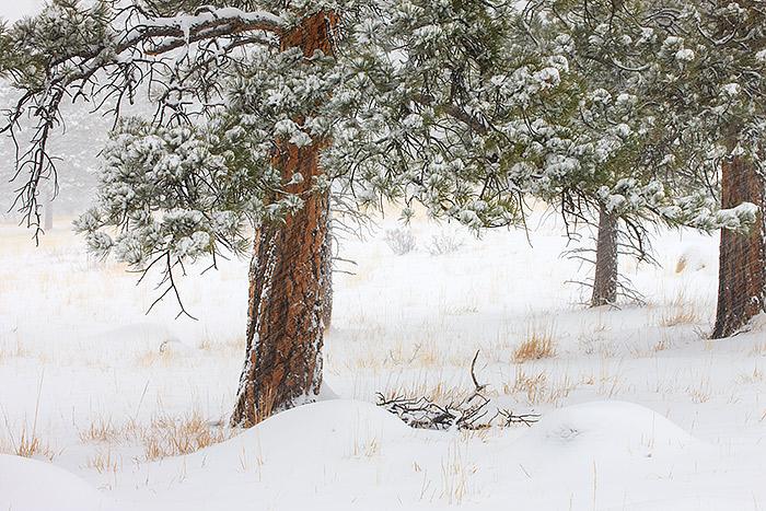 Walker Ranch,Snow,Ponderosa,Open Space,Boulder,Colorado, photo