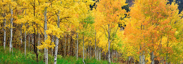 Aspen trees in Colorado's White River National Forest change to hues of brilliant oranges and yellows. This Aspen grove is located...