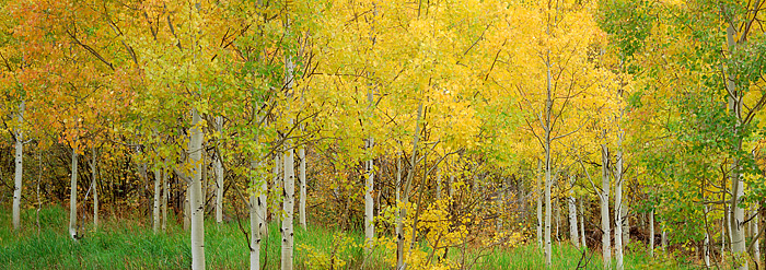 Aspens, Fall, Colorado, Maroon Creek, Maroon Bells, photo